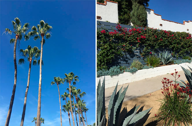 Los Angeles palm trees and bougainvillea