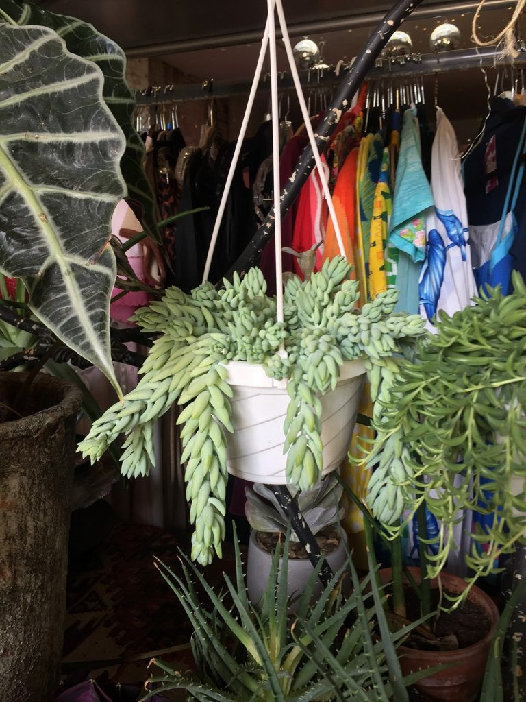 Burro's tail plant at Feng Swap